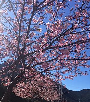 満開のごんべえ桜